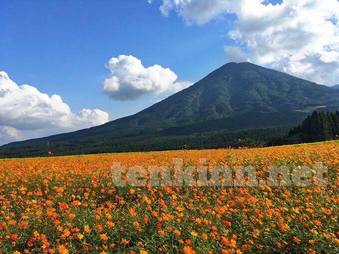 生駒高原キバナコスモス