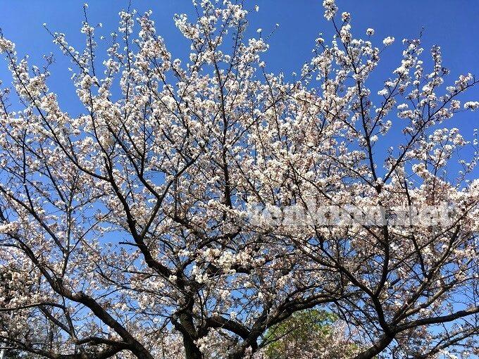 磯山公園の千本桜