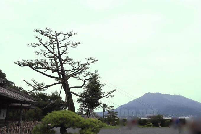 仙巌園の松が弱っていた