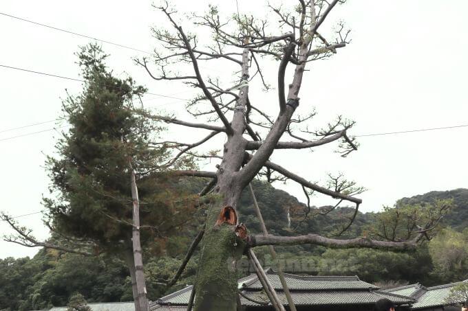 仙巌園のヤクタネゴヨウ伐採