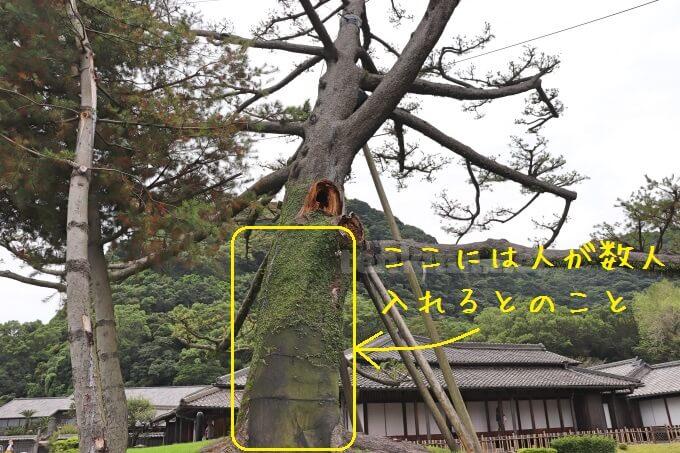 仙巌園のシンボルツリーの松がなくなる