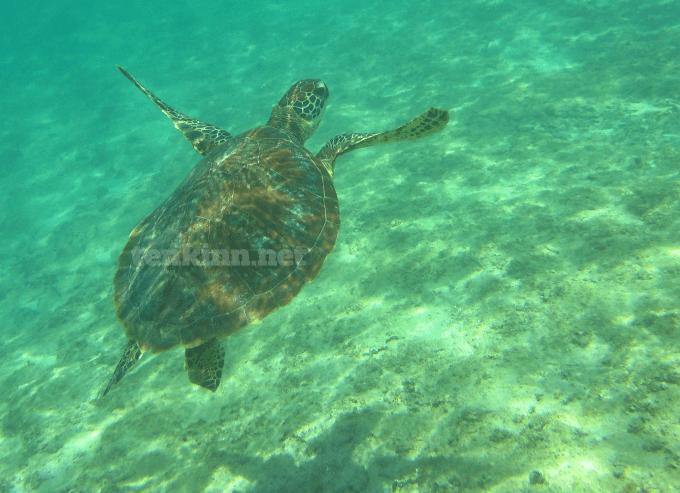 宮古島で遭遇したウミガメ