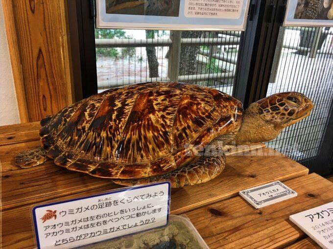 重富海岸の渚ミュージアムでウミガメをみる