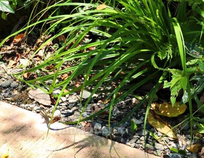 雄川の滝で会える七色トカゲ