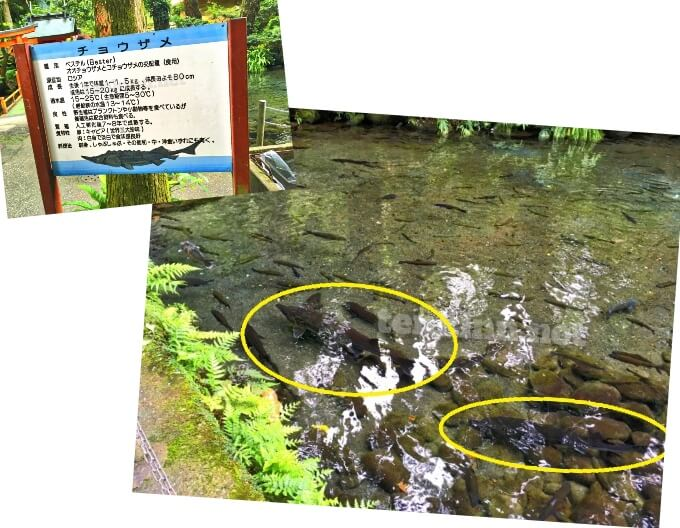 唐船峡は、チョウザメも飼育されている